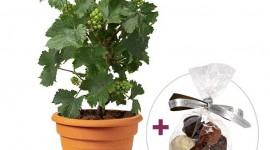 Aquarelle.com propose un pied de vigne pour la fête des pères