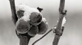 Pinot noir de Pommard en hiver - Aurélien Ibanez
