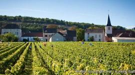 Vendanges à Chassagne-Montrachet par Aurélien Ibanez